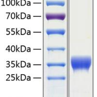 Recombinant Human SLAMF8 Protein