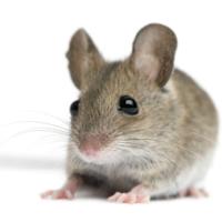 Mouse Ferrochelatase, mitochondrial (Fech) ELISA Kit