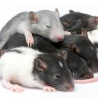 Rat Phosphatidylinositol-glycan-specific phospholipase D (Gpld1) ELISA Kit