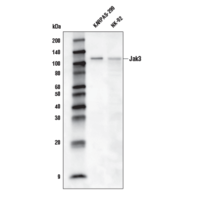 Jak3 (D1H3) Rabbit mAb (Biotinylated)