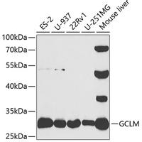GCLM Polyclonal Antibody (CAB5314)