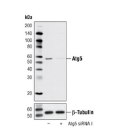 SignalSilence® Atg5 siRNA I