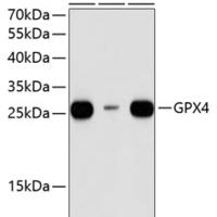 GPX4 Polyclonal Antibody (CAB13309)