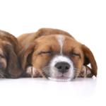 Canine Hydroxylysine (Hyl) ELISA Kit
